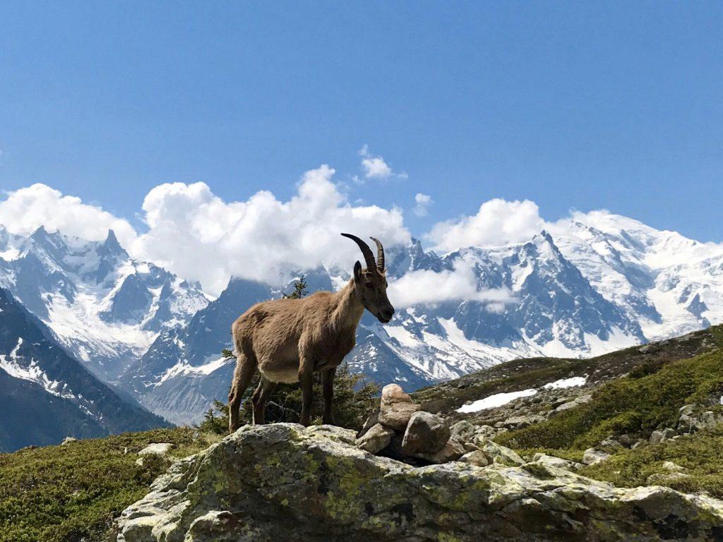 aiguilles-rouges-chamonix-chamois-hiking